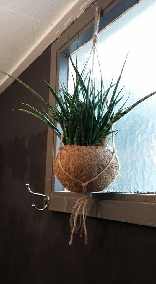 kokosbolplant